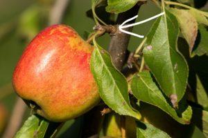 Omenapuun lyhytverso