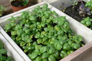 Basilikan esikasvatetut taimet