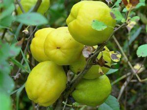 Helppo hyötyarha hedelmät