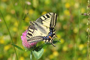 Luonnonkasvit ovat hyönteisille tärkeitä